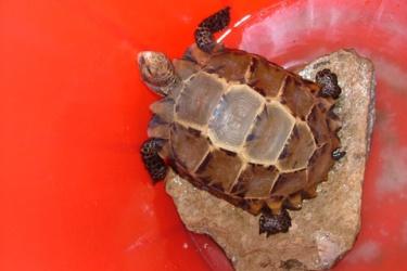 Tiếp nhận và nuôi dưỡng cá thể rùa quý hiếm